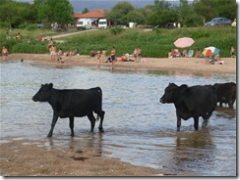 cows crossing the river